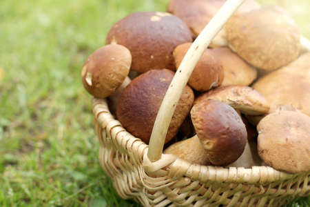 wicker basket full of boletus  stands on a background of grass  autumn forest  delicacies Stock Photo