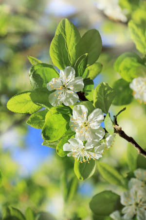 branch of blossoming fruit tree  rapid spring growth
