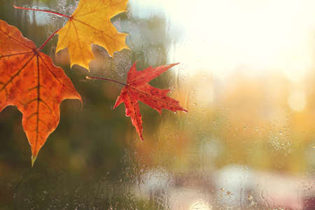 red and yellow maple leaves and raindrops on the glass  autumn weather outside the window Stock Photo