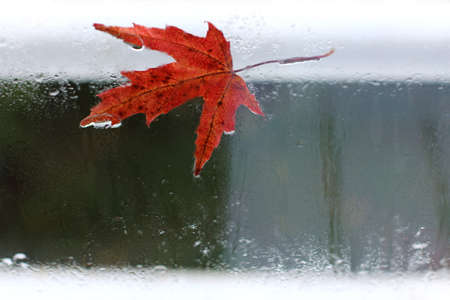 red maple leaf adhered to the wet, with raindrops glass in the off-season  weather change outside the window