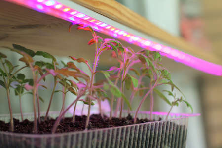 Light agro LED tape helps grow tomato seedlings at home  active growth of young shoots Stock Photo