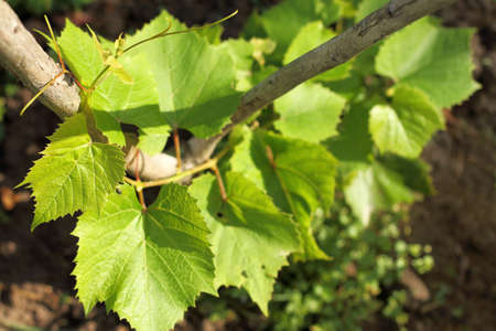 the sprout of the vine stretches up the pedestal  green shoots of the young plant