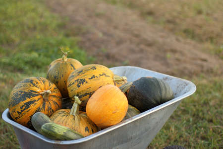 mountain of ripe pumpkins in a garden cart against the backyard / transportation of the autumn harvest