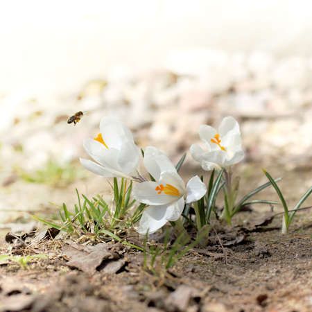the bee collects the first nectar from the white flowering crocuses. spring flora and fauna 版權商用圖片