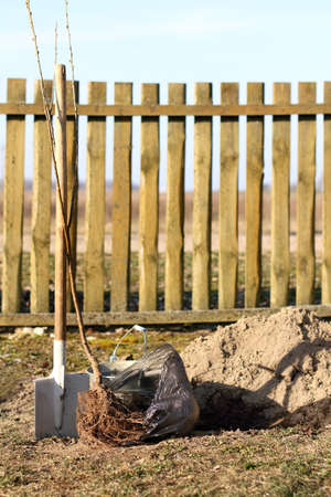 sapling of a cherry tree with an open root system, a shovel and a bucket with water. new fruit trees for the garden