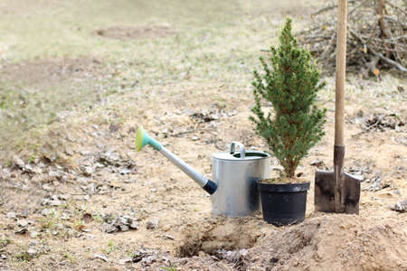 A small Evergreen Christmas tree, a shovel and watering can before planting in the ground. landscaping of the garden in spring