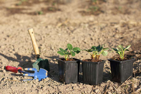 three pots of strawberry bushes before planting in the ground. spring renewal of berry crops in the garden Stock Photo