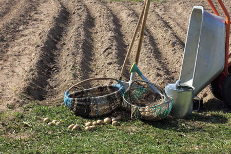 potatoes with garden tools before planting in the field in spring. time to plant vegetables