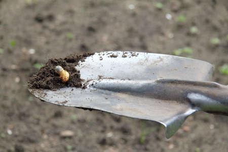 freshly dug larva of the May beetle on a shovel. dangerous pest of the garden Stock Photo
