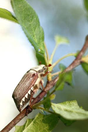 Hanneton sur une branche d'arbre fruitier. ravageur printanier des jardins Banque d'images