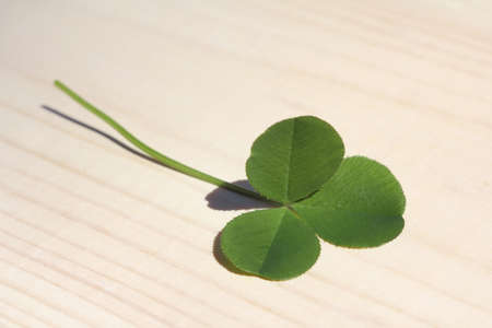 three-leaf clover close-up. lucky day