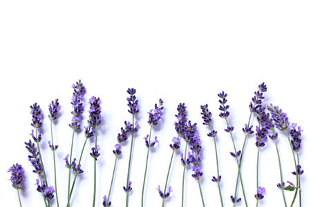 sprigs of flowering lavender on white background top view. background for gentle wishes Stock Photo