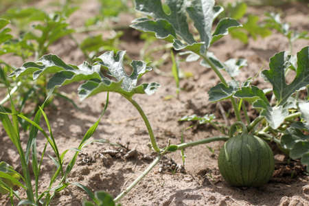 small green fruit in stripes begins its growth in the garden in the summer. growing watermelons