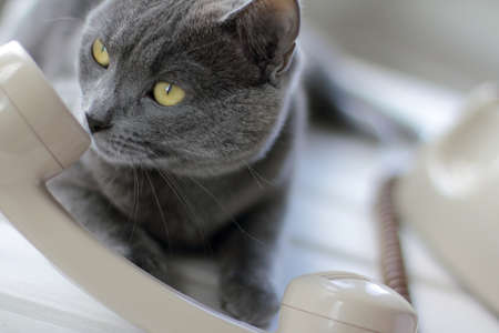 Cat and the handset of a retro telephone. I listen carefully and sniff you