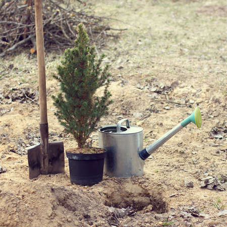 planting green fir from a pot in a spring garden. place for evergreen trees