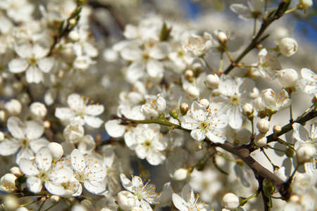 many blooming flowers on cherry tree branches. Photo beginning of spring season