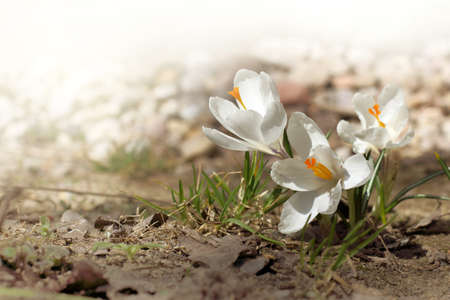 white crocuses bloom. spring flowers Reklamní fotografie