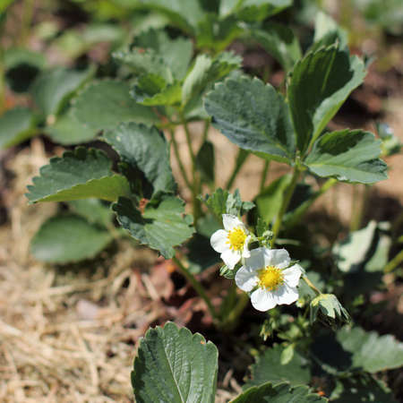 flowering garden strawberries on a sunny day. bushes of the future berry harvest