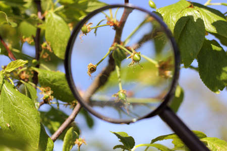 spoiled ovaries on a fruit tree under a magnifying glass close-up. close inspection of the garden Reklamní fotografie