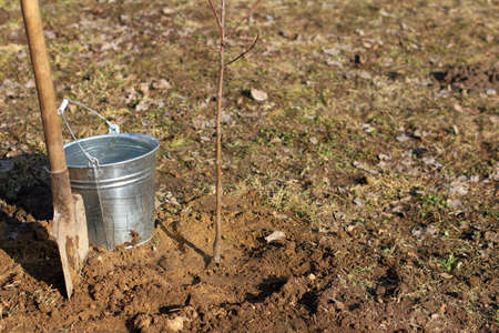 new apple tree seedling on the background of a shovel and a full bucket of clean water. watering a tree is important for growth