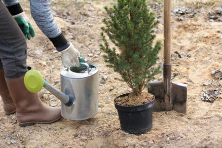 gardener with a watering can full of water and a seedling of fir in a pot in the garden. choose a place to plant a tree