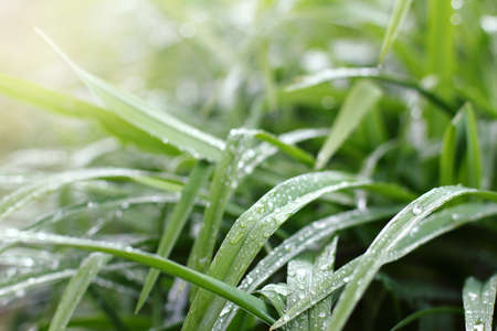 green leaves of grass with drops after rain. wet spring landscape
