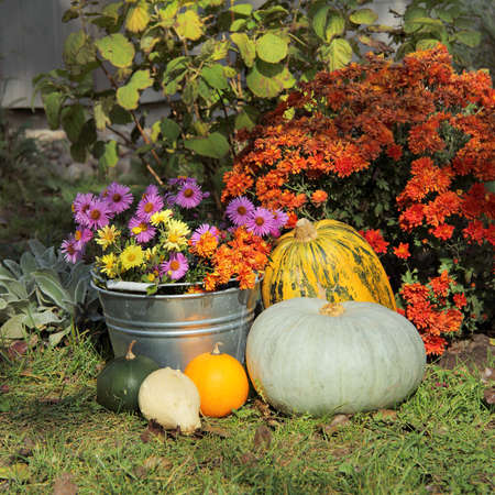 Autumn flowers and decorative pumpkins in the yard. floriculture and gardening