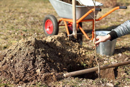 gardener is trying on a seedling of an apple tree in a dug hole for planting. Spring care for the garden tab