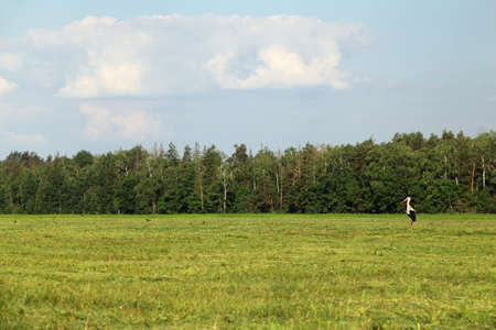 wild stork stands in the middle of a field of mowed grass against the background of the forest. bird perched on the hunt