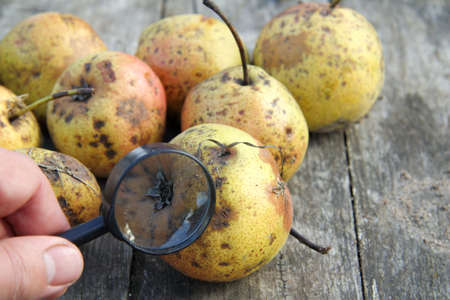 magnifying glass on the background of pears with traces of superficial damage to fruits and leaves. dangerous disease of fruits and plants Reklamní fotografie