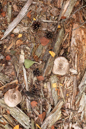 flat lay of pine needles mushroom leaves and tree fragment top view. autumn forest floor Foto de archivo