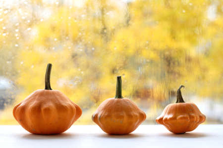 three orange squash on the background of the window after the rain. autumn decorations for home decoration 免版税图像