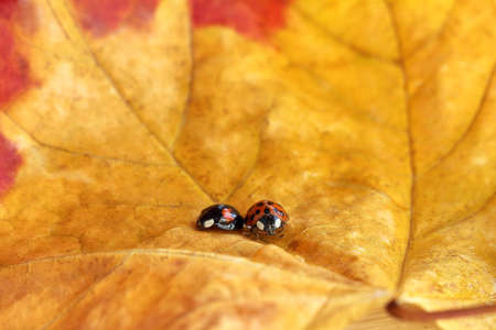 black and red ladybugs sit on a yellow autumn leaf close-up. so different together Foto de archivo