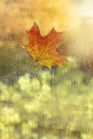 wet maple leaf on a window overlooking the park. golden autumn has come Foto de archivo