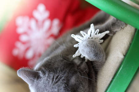 gray cat plays with a soft knitted snowflake. winter home games
