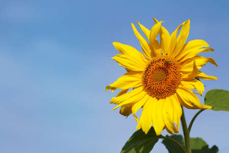 one yellow sunflower on a background of blue sky. bright flower of sunny summer
