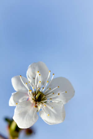 blooming apple tree flower on a background of blue sky. spring close up