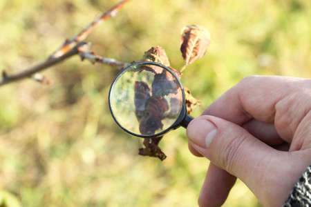 Gardener  hand with a magnifying glass against the background of a withering fruit tree. study of plant diseases