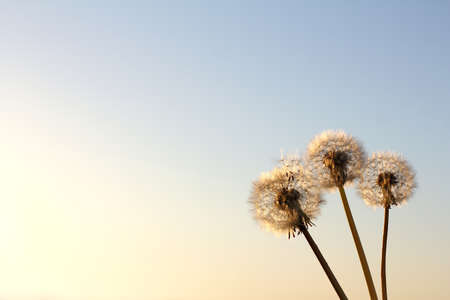 Three fluffy dandelions against the sky. soft spring sunsets Foto de archivo