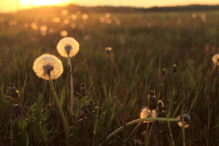 Two fluffy dandelions in the grass on a sunset background. summer landscape in the sun Foto de archivo