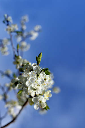 flowering petals of a fruit tree against a blue sky. white spring flowers