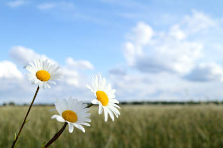 Three daisies on a background of field and clouds. summer landscape with flowers