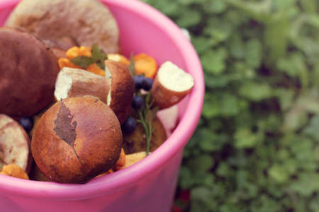 edible forest mushrooms in a bucket. gourmet harvest