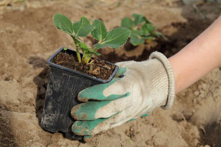 a gloved hand holds a pot with strawberry seedlings. growing berry crops in the garden