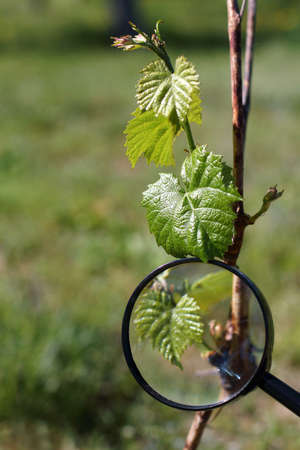 Young grape seedling under a magnifying glass. seasonal inspection in the garden