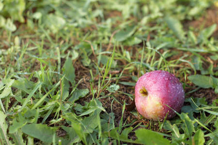 red apple freshly fallen from a tree into the grass after rain. healthy eating ripened