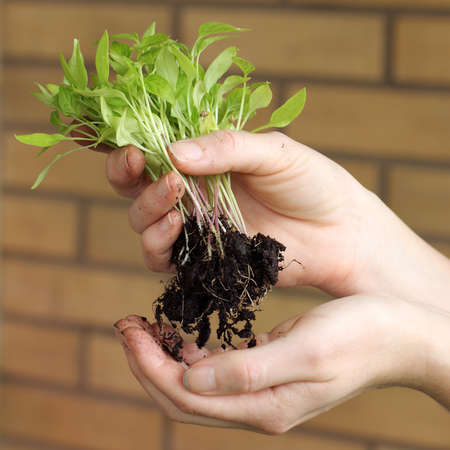 sorting young sprouts of seedlings in the hands of the gardener. Cultivation of vegetables