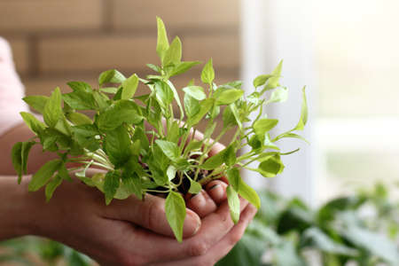 gardener holds in hands green sprouts of pepper on a background of a window. home gardening in spring