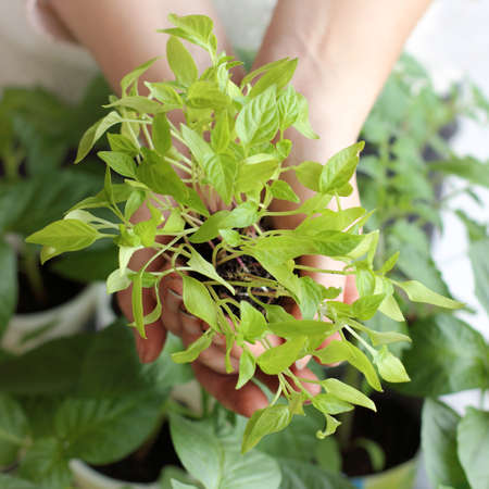green pepper sprouts in the hands of a top view. new crop seedlings