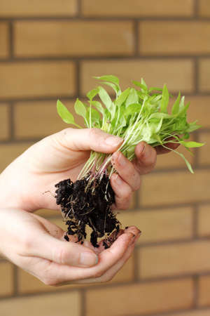 gardener holds in his hand many small new sprouts with roots. transplanting seedlings for further growth